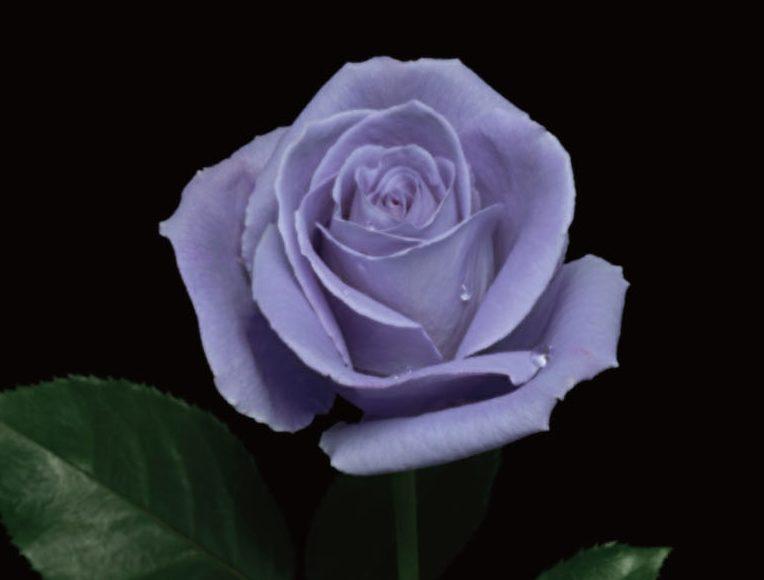 plava-ruza-suntori-2-jpg
