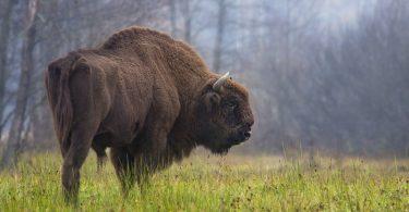 bizon poljski savremeni