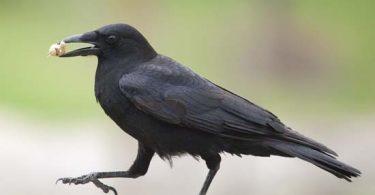 Poštene vrane (Britanika)