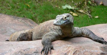 Комодски варан (Википедија)