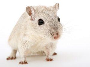 Моћни миш (Салков институт)