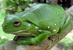 Жабље очи (Википедија)