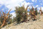 Најстарије дрво (Википедија)