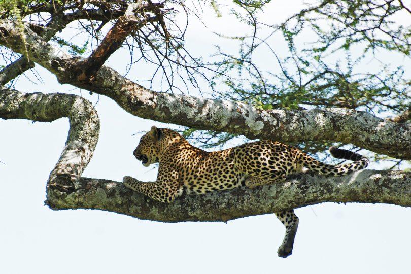Поглед на савану (пантер, Википедија)