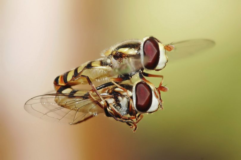 Спајање мува лебделица (Википедија)