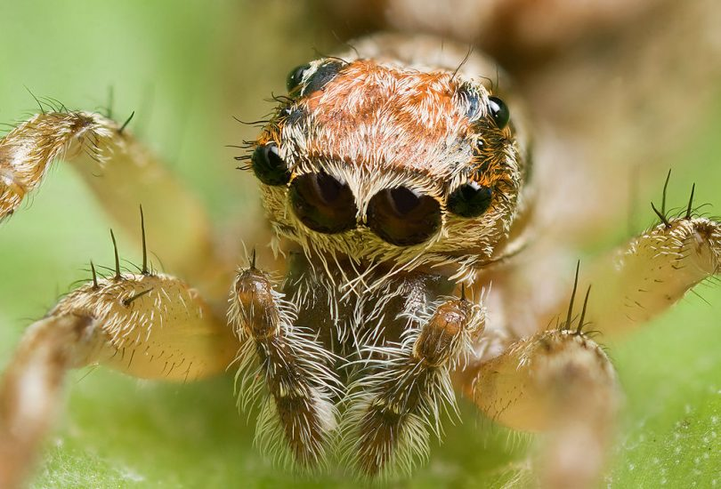 тамане инсекте (википедија)