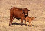 Крава брангус (Википедија)