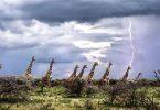 Куле у савани (Википедија)