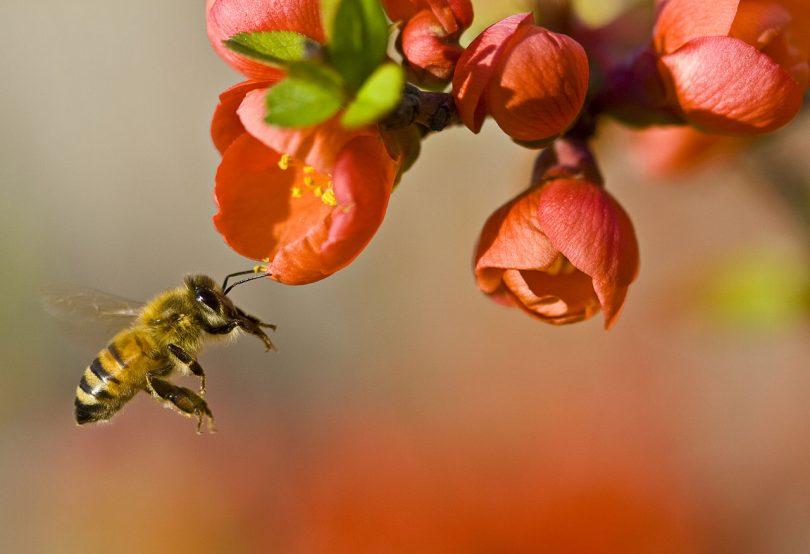 Мање пчела (Википедија)