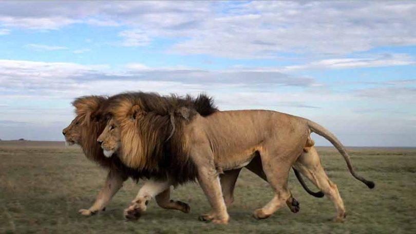 Угрожени лавови (Википедија)