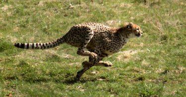Брзоноги гепард (Википедија)