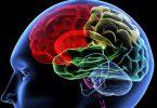 Ljudski mozak (Vikipedija)