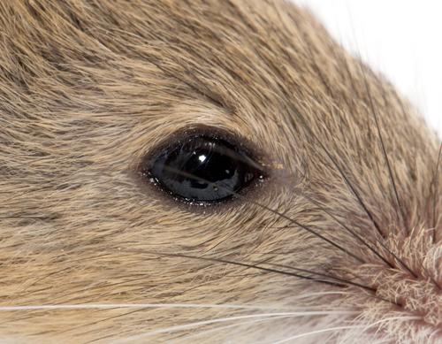 Мишје око (Википедија)