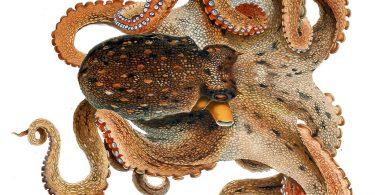 Обичан октопод (Википедија)