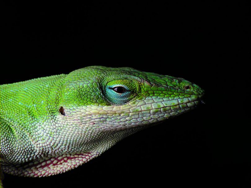 Зелена анола (Википедија)