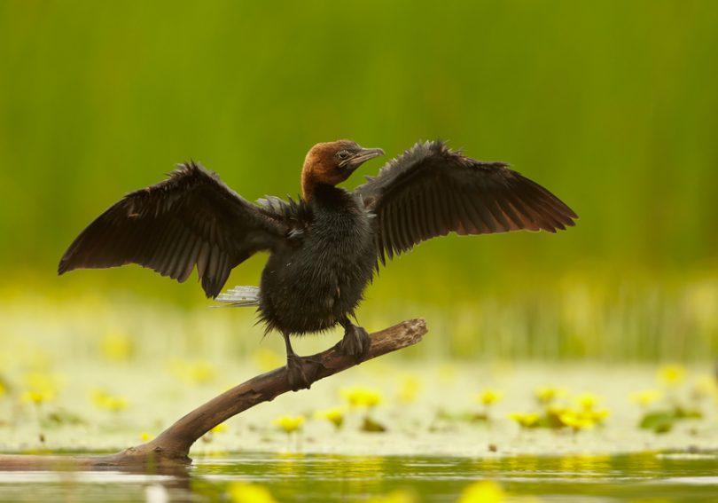 Мали вранац (Википедија)