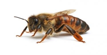 Пчела краљица (Википедија)