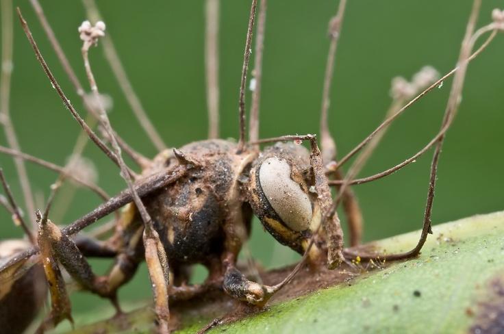 Zaraženi insekt (Vikipedija)