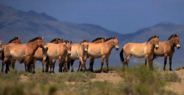 Пржевалски коњи (Википедија)