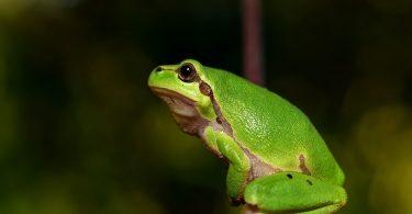 Усамљени жабац (Википедија)