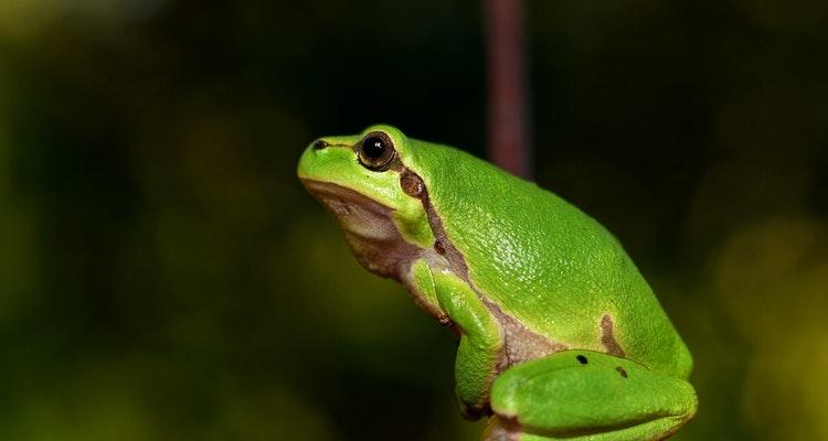 Usamljeni žabac (Vikipedija)