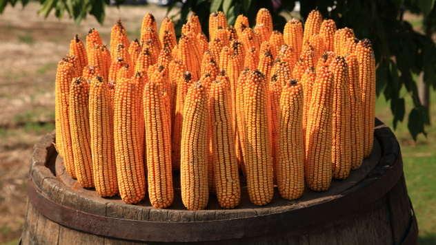 Земунски хибрид (Институ за кукуруз)