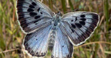 Igra svetlosti na krilima (Vikipedija)