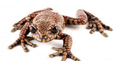 Ekvadorska žaba (Vikipedija)