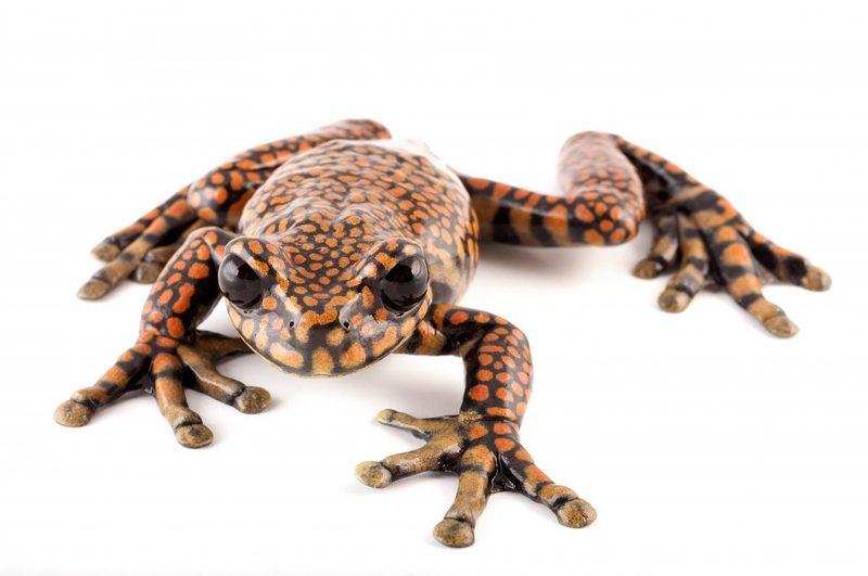 Еквадорска жаба (Википедија)