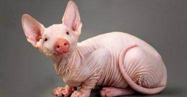 Пола мачка, пола свиња (Њујорк пост)