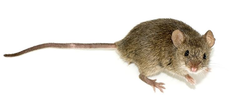 Miš Vikipedija