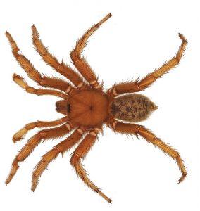 Обамин паук (Џејсн Бонд, Викимедија)