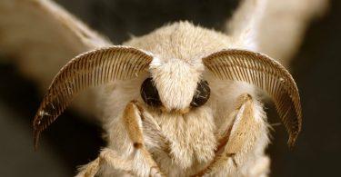 Свилена буба одрасла (CSIRO)