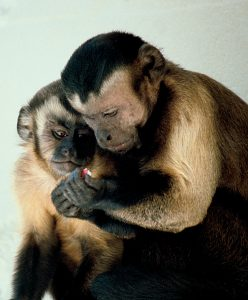 Мајка и младунче капуцина (Википедија)