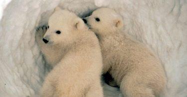 Mladunci polarnog medveda (Vikipedija)