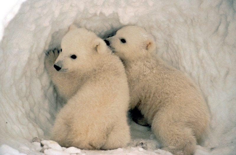 Младунци поларног медведа (Википедија)