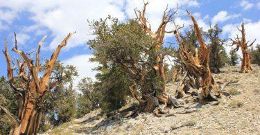 Najstarije drvo (Vikipedija)