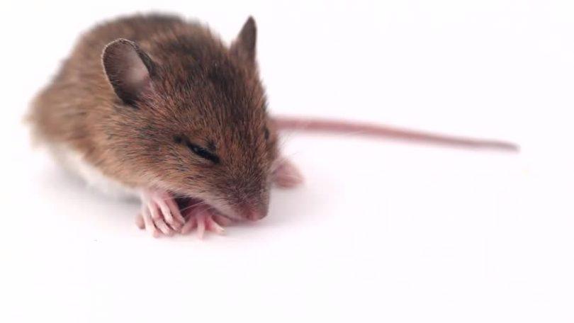 Uspavani miš (Vikipedija)