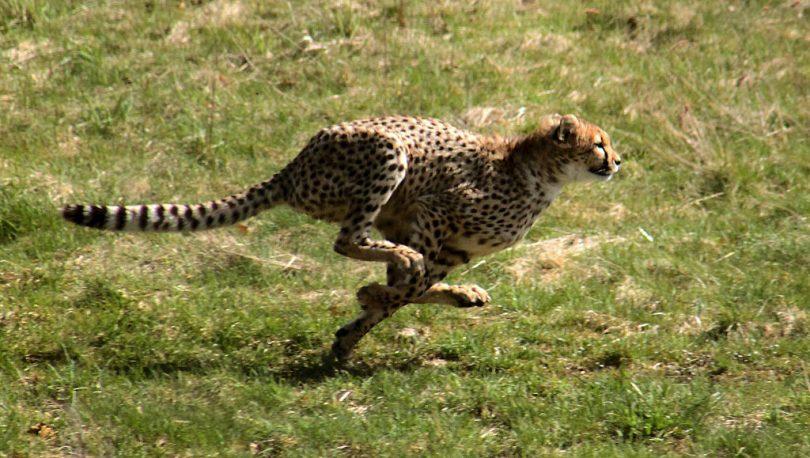Brzonogi gepard (Vikipedija)