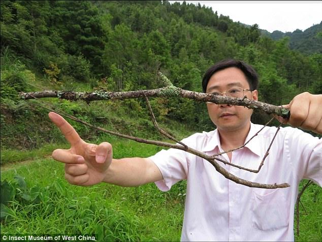 Grančica na grančivci (Muzej insekata Zapadna Kina)