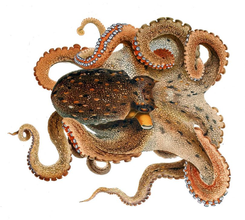 Običan oktopod (Vikipedija)