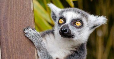 Lemur aj-aj (Vikipedija)
