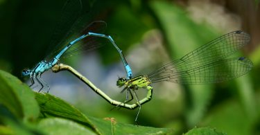 Спајање у облику срца – зелени је мужјак (Википедија)